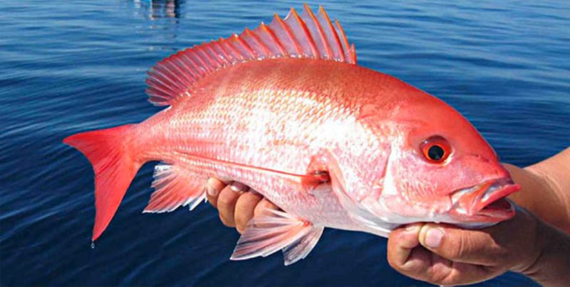 Red Bays Snapper Tournament