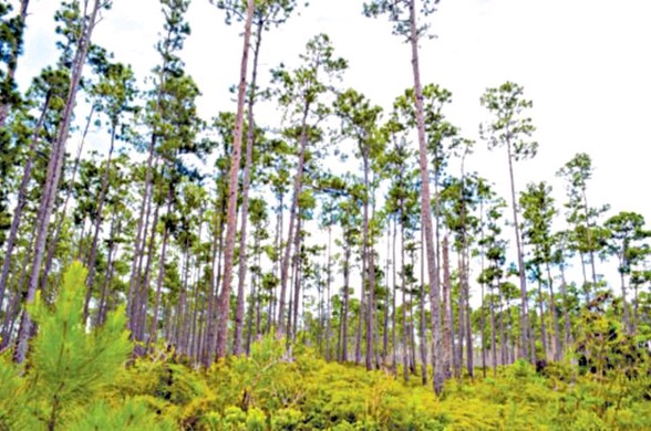 Need to maximize economic benefits from local timber says Pine tree timber