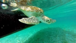 Atlantis and the Green Sea Turtle Population